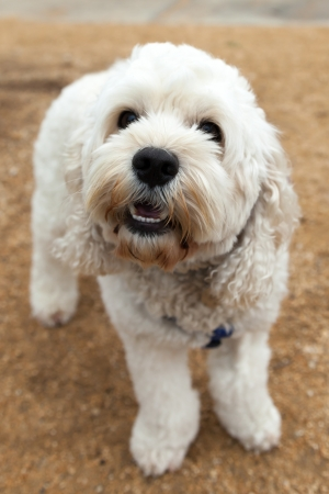 bichon bolognese: Cute and playful Bichon Frise dog standing on path