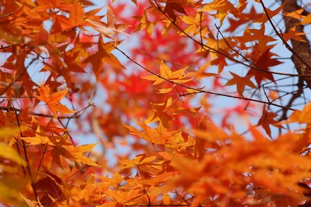 In fall, maple tree leaves turn yellow, orange and red.