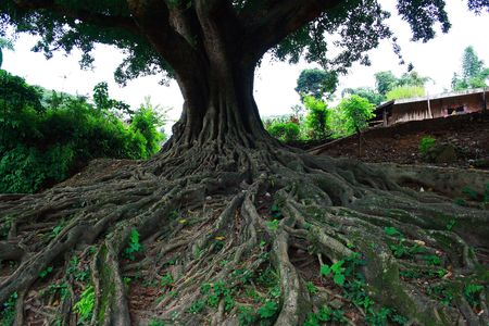 ficus: Ficus microcarpa
