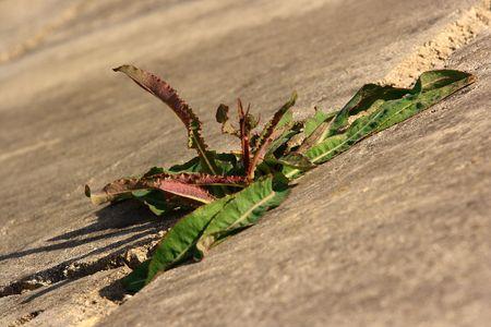 potherb: Plantain