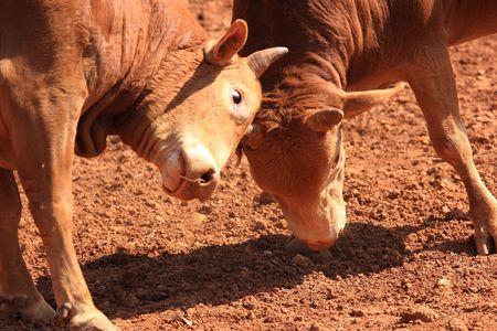bull fighting: fighting bull Stock Photo