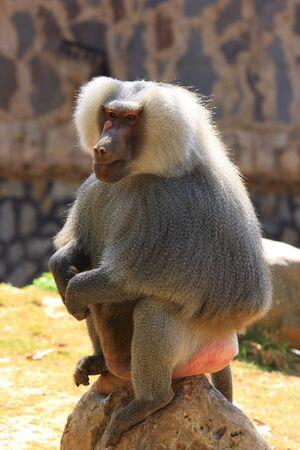 animalia: Hamadryas Baboon Stock Photo