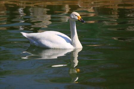 phylum chordata: White Swan