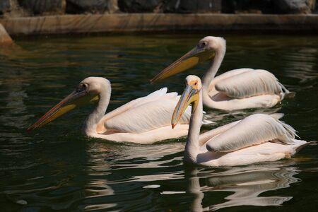 phylum chordata: Pelican
