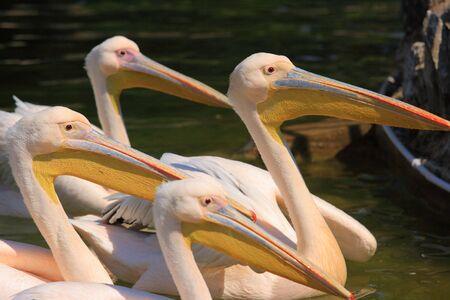pelecanidae: Pelican