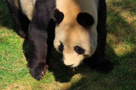phylum chordata: Panda