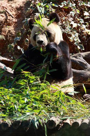 carnivora: Panda
