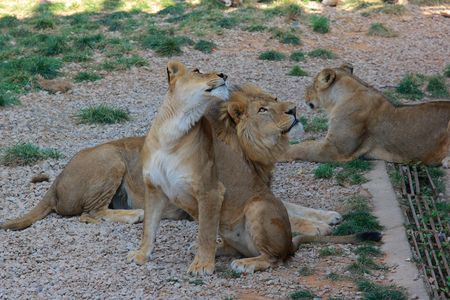 phylum chordata: Lions Archivio Fotografico