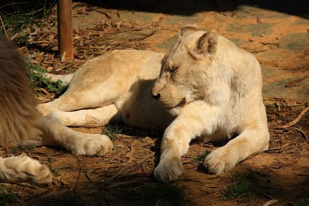 phylum chordata: White Lion, leoni