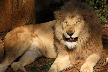 phylum chordata: Le�n blanco, leones Foto de archivo