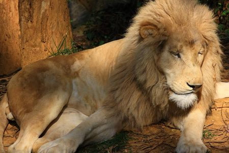 phylum chordata: Leones, White Lion Foto de archivo