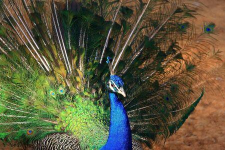 chordata: peacock Stock Photo