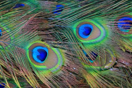 it's: peacock its tail feathers