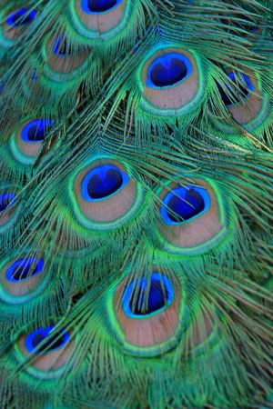 its: peacock its tail feathers