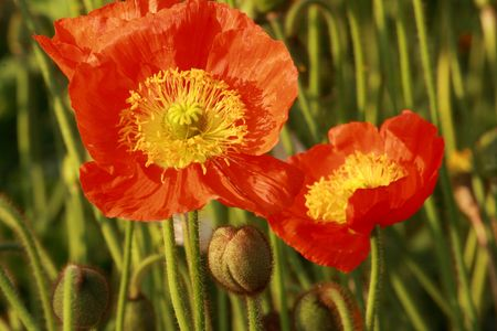stamens: Poppy flowers and tipped stamens