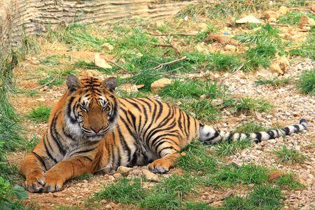 Bengal Tiger Stock Photo - 4764721