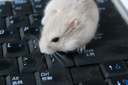 sneaking: Hamster standing up Computer keyboard