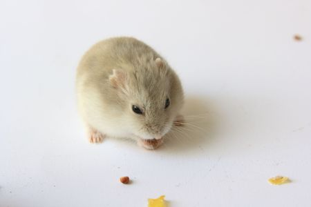 Hamster and Small snack photo