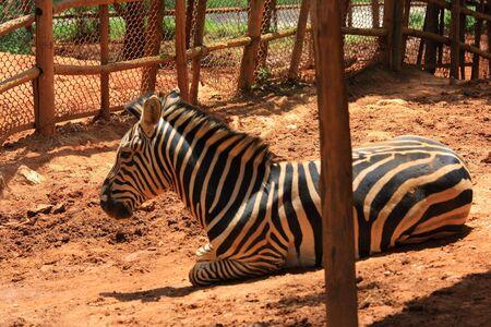 Zebra Stock Photo - 5229551