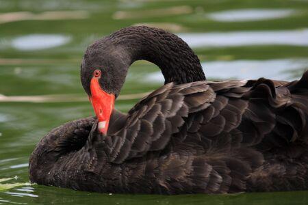 phylum: Black Swan