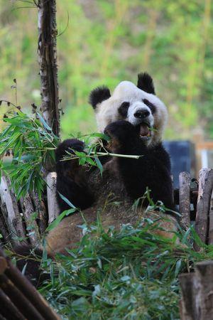 Endangered animal Panda photo