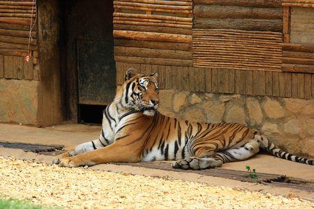 Bengal Tiger Stock Photo - 5229547