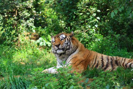 Bengal Tiger Stock Photo - 5229445