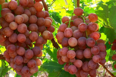 Red grape plantations Stock Photo - 5229648