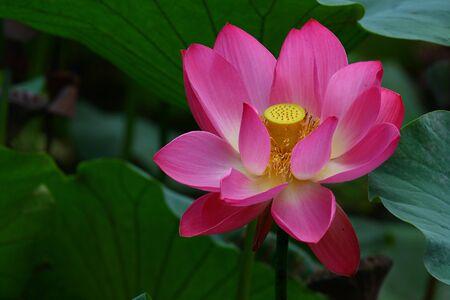 pink sacred lotus  photo