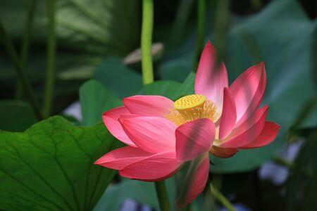 pink sacred lotus Stock Photo - 5418572