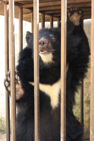 black bear: Black bear in the cage