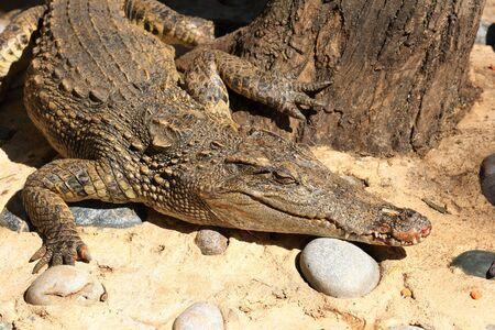 swampland: Crocodile lying on the bank Stock Photo