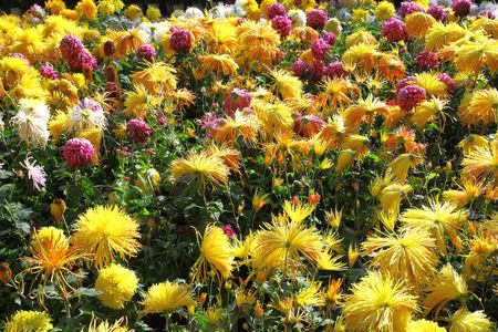 Garden chrysanthemums in full bloom photo