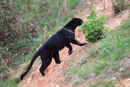 Black Leopard Stock Photo - 7240815