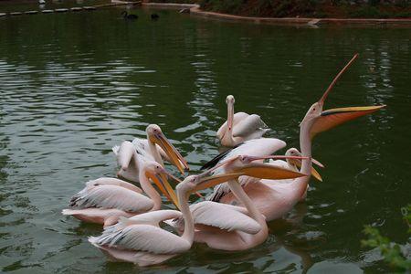 maternal: Great white pelican (Pelecanus onocrotalus). Pelican is ancient symbol of maternal love.  Stock Photo