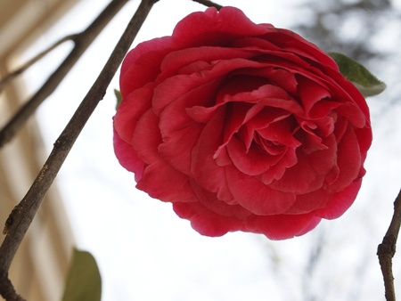 Red Camellia Close photo