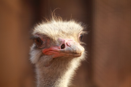 ostrich portrait in the farm, close up, background  photo