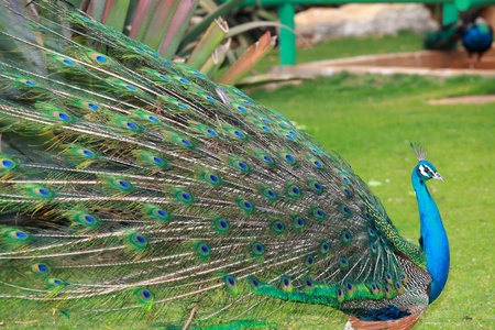 beautiful peacock Stock Photo - 9182880