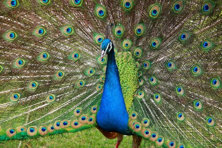 Close up of peacock showing its beautiful feathers  photo