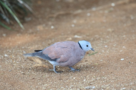 red beak: Red Collared Dove