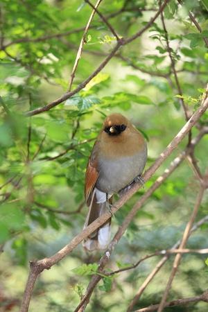 thrush bird photo