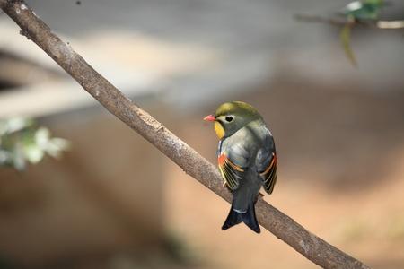 red-billed leiothrix, chinese nightingale photo