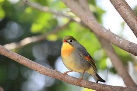 red-billed leiothrix, chinese nightingale Stock Photo - 9270671