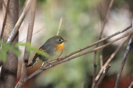 leiothrix: red-billed leiothrix, chinese nightingale