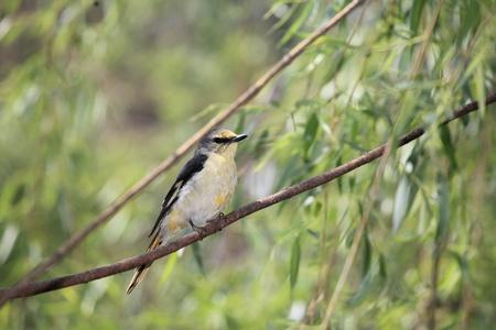 red thrush bird photo