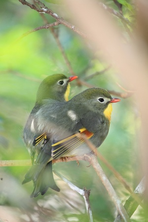 red-billed leiothrix, chinese nightingale photo