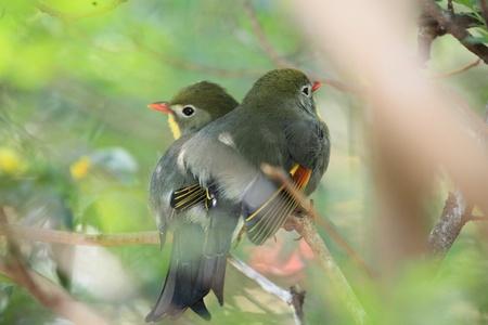 red-billed leiothrix, chinese nightingale Stock Photo - 9270614