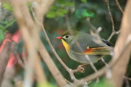 ruise�or: leiothrix Quelea, China nightingale