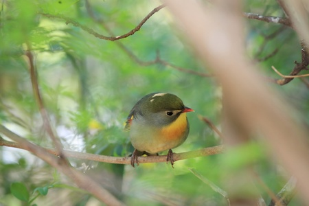 red-billed leiothrix, chinese nightingale Stock Photo - 9270100