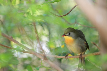 ruise�or: leiothrix quelea, nightingale chino